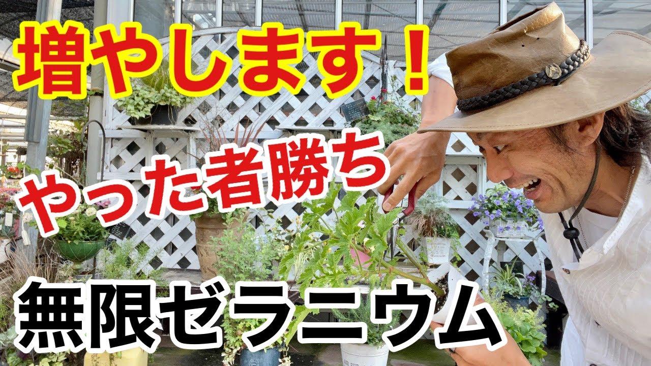 【誰でもできる】香りゼラニウムをたくさん増やす方法教えます 【カーメン君】【園芸】【ガーデニング】【初心者】【挿し木】【繁殖】