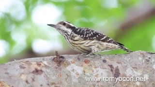 Philippine Woodpecker (Dendrocopos maculatus)