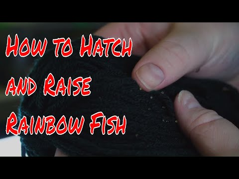 How To Hatch And Raise Rainbow Fish