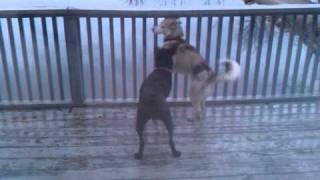 Boeing The Blue Eye Siberian Husky Dog Fight With Black Lab