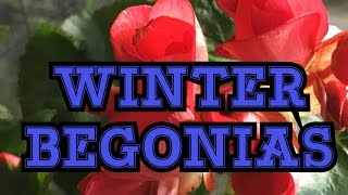 GARDENING GUIDE: RIEGER BEGONIA CARE /THE ELATIOR WINTER BEGONIA IN THE GARDEN AND GREENHOUSE