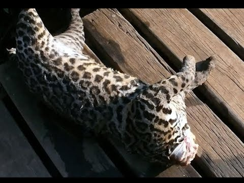 Illegal Wildlife Trade - Belizean authorities sound alarm