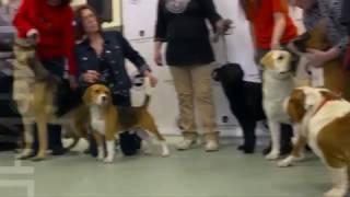 Лабрадор-ретривер: любимая собака американцев
