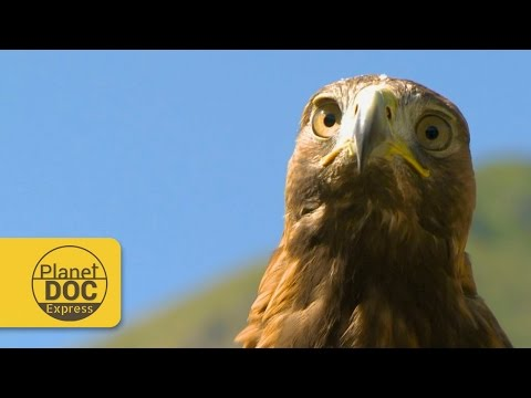 Golden Eagle | Planet Doc Express