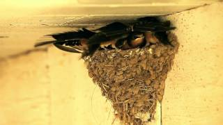 A Day (a week) in the Life of Barn Swallow Fledglings