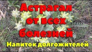 Астрагал - Чудо растение жизни
