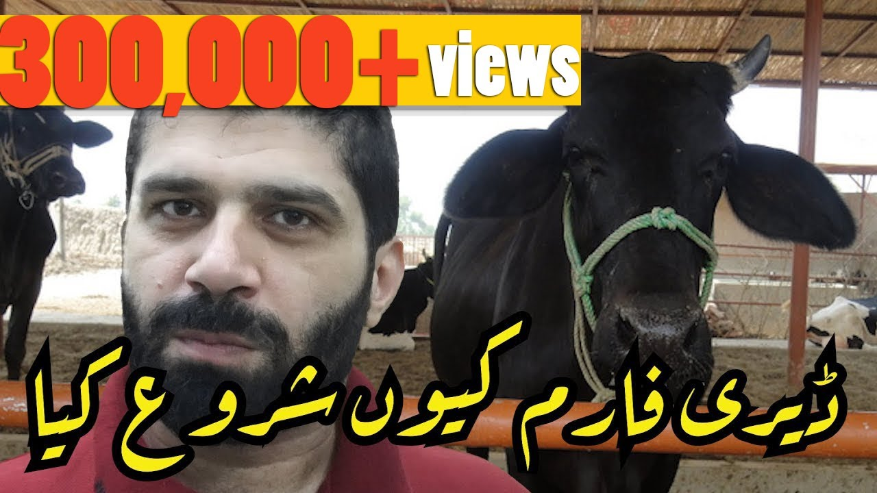 Why Start a Dairy Farm Business in Pakistan (Dairy Farming Guide Series by Momekh) - Ur/Hi