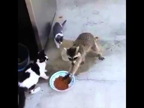 Енот ворует еду у кошки