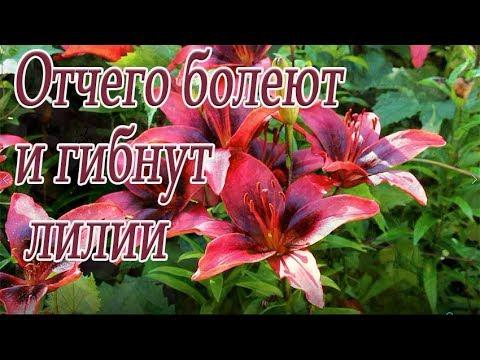 Отчего болеют и гибнут лилии