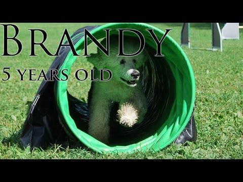 Happy birthday Brandy - Standard poodle - tricks and agility
