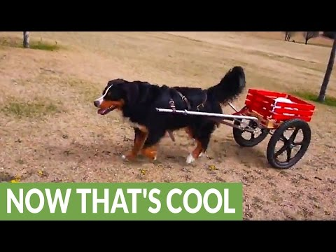 Instincts kick in for Bernese Mountain Dog