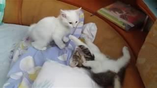 Два котенка бесятся на диване