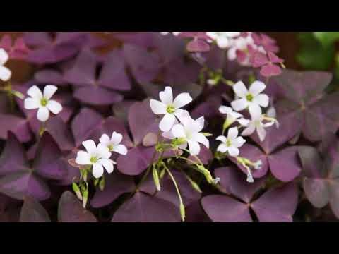 Цветок счастья - кислица (оксалис). Особенности ухода в осенне - зимний период!!!