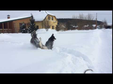 Afghan hounds and snow
