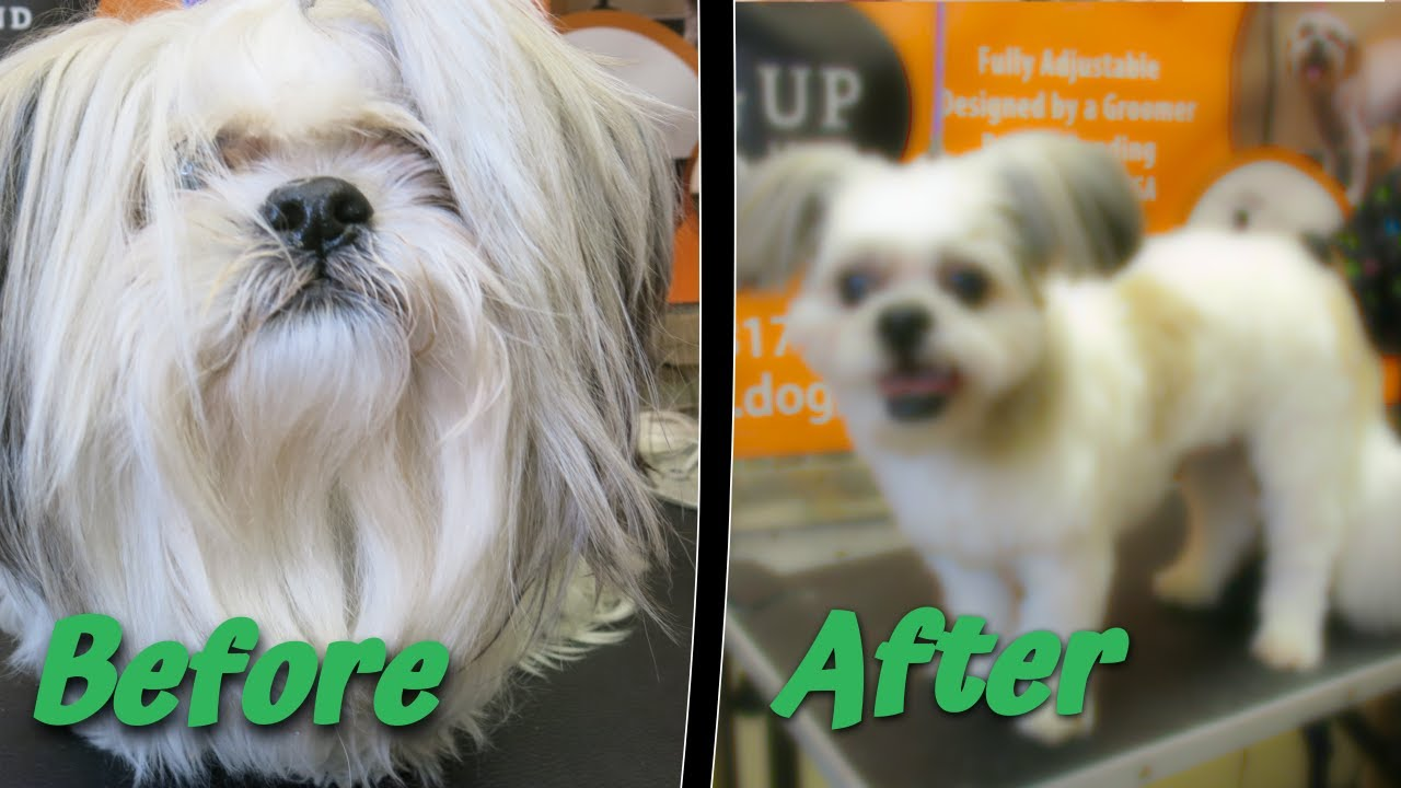 Making Your Shih Tzu look good With A Short Haircut