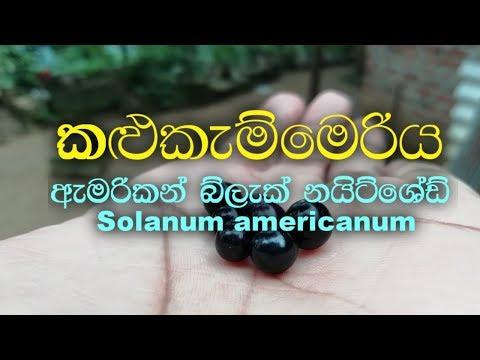 Kalukammeriya - Nightshade - Solanum Americanum