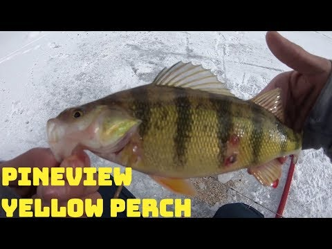 Yellow Perch Fishing: Pineview Reservoir Ice Fishing For Perch