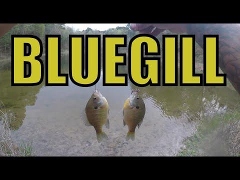 BLUEGILL MANIA - Pond Fishing Double Drop Shot Live Worms Shakespeare Ultralight Pflueger Trion