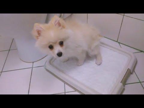 Как приучить шпица к туалету на пеленку