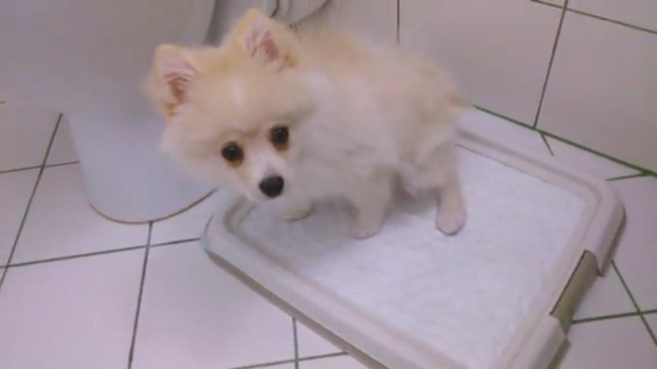 Как быстро приучить щенка ходить в туалет / Шпиц Молли / Мои ЗооНяшки