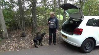 Nelson - Labrador Puppy - Week 1 Of 3 Dog Boot Camp With Adolescent Dogs Guildford