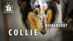 Koirat: Collie rotuesittely