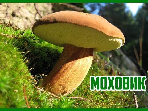 Как выглядит гриб козленок