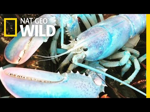 Ultra-Rare Lobster Looks Like Blue Cotton Candy | Nat Geo Wild