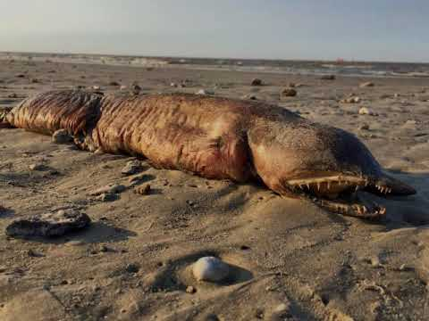 Mystery creature found on Texas beach after Hurricane Harvey, large fangtooth snake-eel,