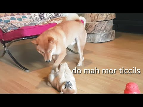 potat disrespecc / My life is potato. Ep 47 / Shiba Inu puppies