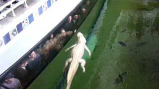 Albino Alligator at the Academy of Sciences, San Francisco