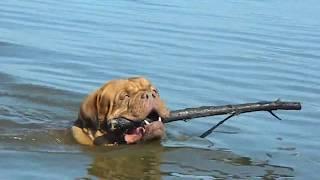 Dogues de bordeaux have a fun. Бордоские доги веселятся