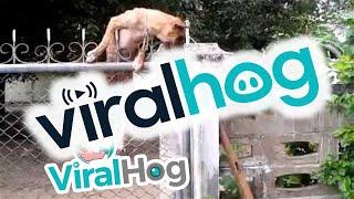 Dog Climbs A Chain-link Fence