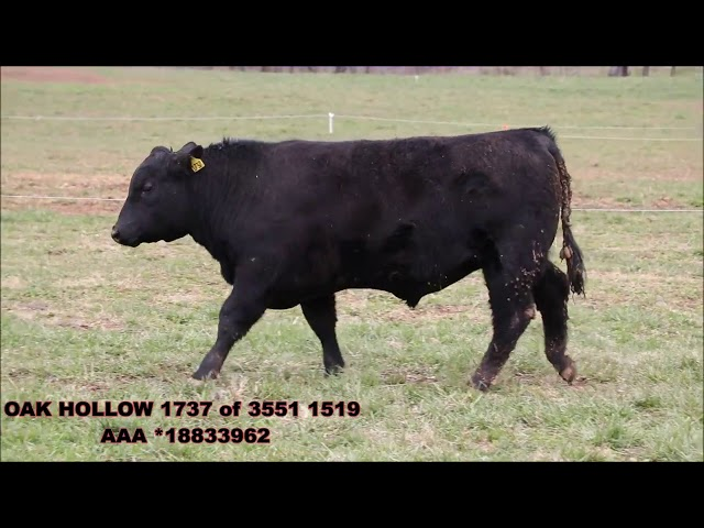 Oak Hollow Angus Lot 33