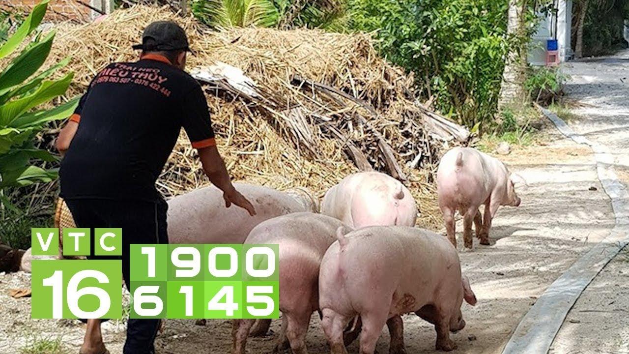 Xuất khẩu lợn đi Trung Quốc: Lợi ngắn, hại dài   VTC16