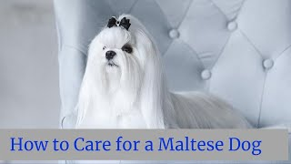 How to Care for a Maltese Dog || How to treat Maltese dog || Maltese Dog CARE