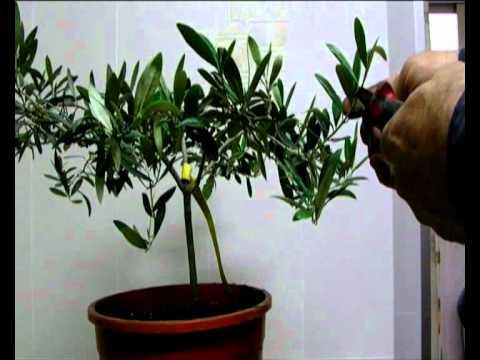 bonsai - como hacer más pequeño un olivo - youtube