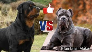 Ротвейлер против Кане корсо. Rottweiler against Cane Corso. Собаки.