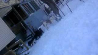 Johnson American Bulldogs And Neapolitan Mastiff Bandog Pups Forsale