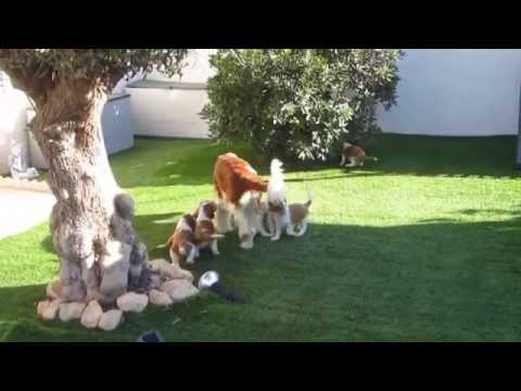Welsh springer spaniel puppies playing in the garden