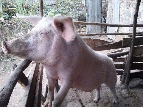 Pigs on Hydroponic fodder  - Grandeur Africa