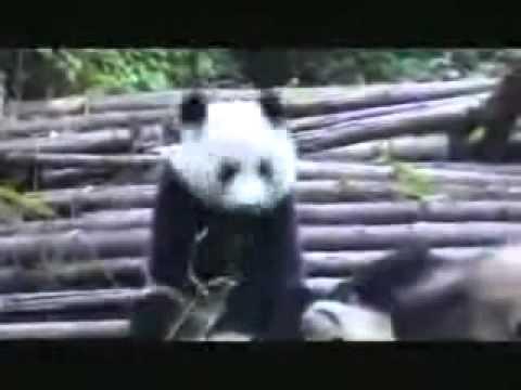 Gau truc hat xi - BaoNga.com