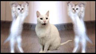 Cats Sing Hokey Pokey - Cats Version - Singing Cats