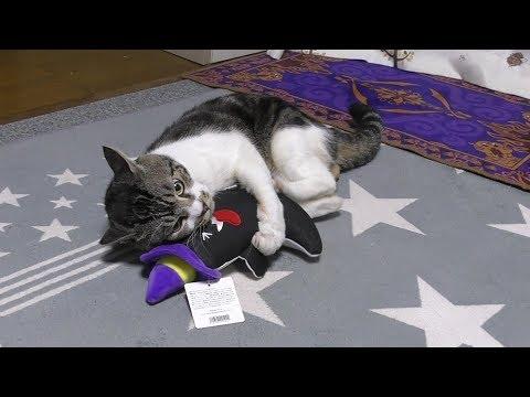 暴れん坊将軍リキちゃん!猫キックに体当たり大暴れだけど熱しやすく冷めやすい猫【リキちゃんねる 猫動画】Cat video キジトラ猫との暮らし