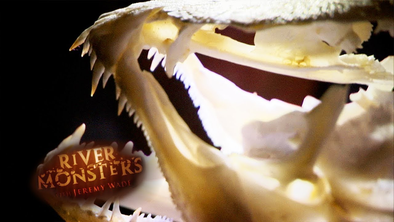 Reassembling A Wolf Fish Skull   WOLF FISH   River Monsters