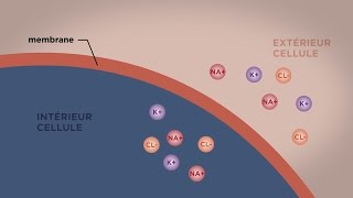 MOOC côté cours : Le transport direct au travers des membranes