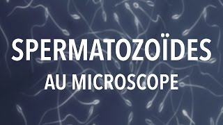 DES SPERMATOZOÏDES AU MICROSCOPE ! #LME01