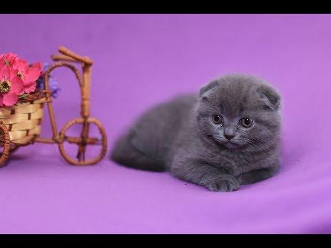 Как приучить к лотку вислоухого котенка