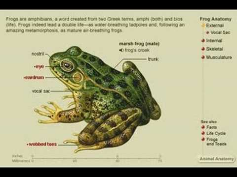 The anatomy of a frog