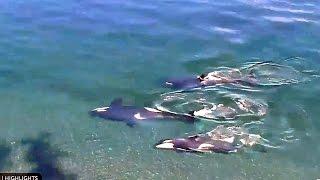 Киты убийцы косатки кайфуют на спине Orca or Killer Whale gets pleasure swimming on its back